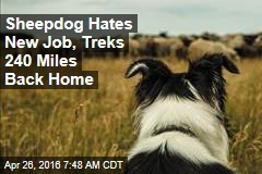 Sheepdog Hates New Job, Treks 240 Miles Back Home