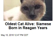 Oldest Cat Alive: Siamese Born in Reagan Years