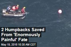 2 Humpbacks Saved From 'Enormously Painful' Fate