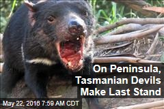 On Peninsula, Tasmanian Devils Make Last Stand