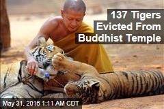 137 Tigers Evicted From Buddhist Temple