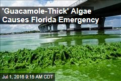 'Guacamole-Thick' Algae Causes Florida Emergency