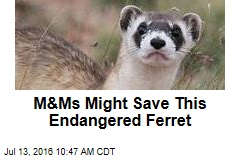 M&Ms Might Save This Endangered Ferret