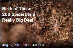 Birth of These 200 Spiders Is a Really Big Deal