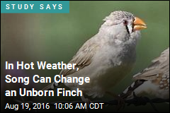 In Hot Weather, Song Can Change an Unborn Finch