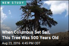 When Columbus Set Sail, This Tree Was 500 Years Old