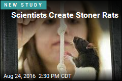 Scientists Create Stoner Rats