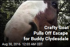 Clydesdale Goes on Lam, Has an Actual Scapegoat