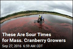 Cranberry Farming in Crisis as It Turns 200