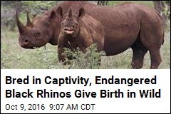 Bred in Captivity, Endangered Black Rhinos Give Birth in Wild