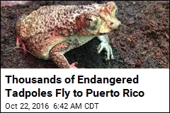 4K Endangered Baby Toads Flown to Puerto Rico