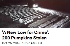 'A New Low for Crime': 200 Pumpkins Stolen