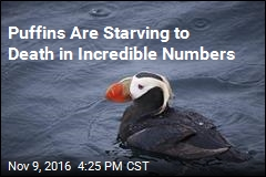 Hundreds of Dead Puffins Washing Up in North Pacific