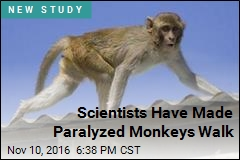Scientists Have Made Paralyzed Monkeys Walk