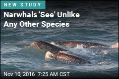 Narwhals 'See' Unlike Any Other Species