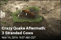 Crazy Quake Aftermath: 3 Stranded Cows