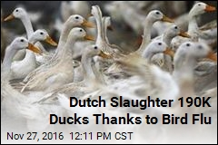 Dutch Slaughter 190K Ducks Thanks to Bird Flu