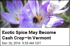 Exotic Spice May Become Cash Crop—in Vermont