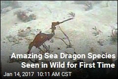 Amazing Sea Dragon Species Seen in Wild for First Time