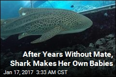 After Years Without Mate, Shark Makes Her Own Babies