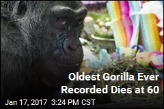 Oldest Gorilla Ever Recorded Dies at 60