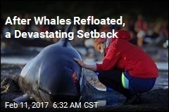 New Pod Strands Itself After Whales Refloated