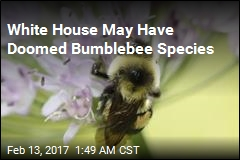 White House May Have Doomed Bumblebee Species