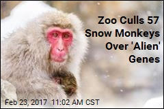 Zoo Culls 57 Snow Monkeys Over 'Alien' Genes
