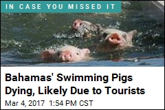 Famed Swimming Pigs Are Dropping Off Like Flies