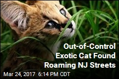 Out-of-Control African Savannah Cat Found Roaming NJ Streets