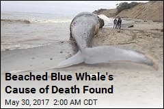 Beached Blue Whale's Cause of Death Found