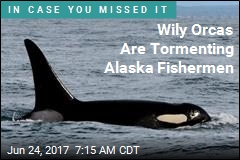 Alaska Fishermen Say Wily Whales Are Stealing Their Catch