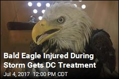 Downed by Storm, DC Bald Eagle Bounces Back