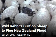 Wild Rabbits Surf on Sheep to Flee New Zealand Flood