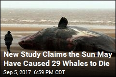 Solar Storms May Have Killed 29 Sperm Whales