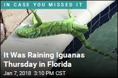 It Was Raining Iguanas Thursday in Florida