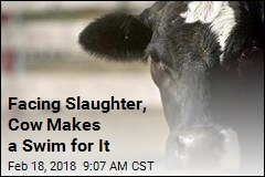 Facing Slaughter, Cow Makes a Swim for It