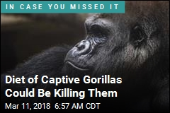 Diet of Captive Gorillas Could Be Killing Them