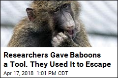 Researchers Gave Baboons a Tool. They Used It to Escape