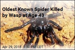 World's Oldest Spider Dead at 43