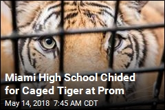 Uproar Over Miami Prom's Centerpiece: a Caged Tiger