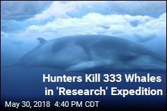 Japanese Hunters Kill 122 Pregnant Minke Whales