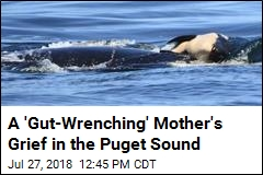 An 'Unbelievably Sad' Sight: an Orca and Her Dead Calf