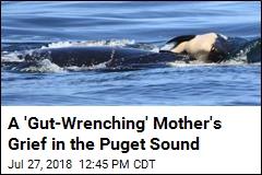 An 'Unbelievably Sad' Sight: an Orca and Her Dead Calf