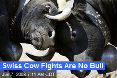 Swiss Cow Fights Are No Bull
