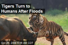Tigers Turn to Humans After Floods
