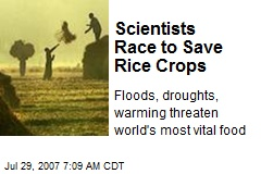 Scientists Race to Save Rice Crops