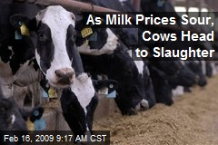 As Milk Prices Sour, Cows Head to Slaughter