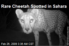 Rare Cheetah Spotted in Sahara