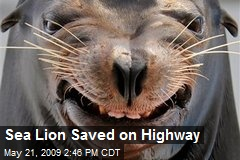 Sea Lion Saved on Highway